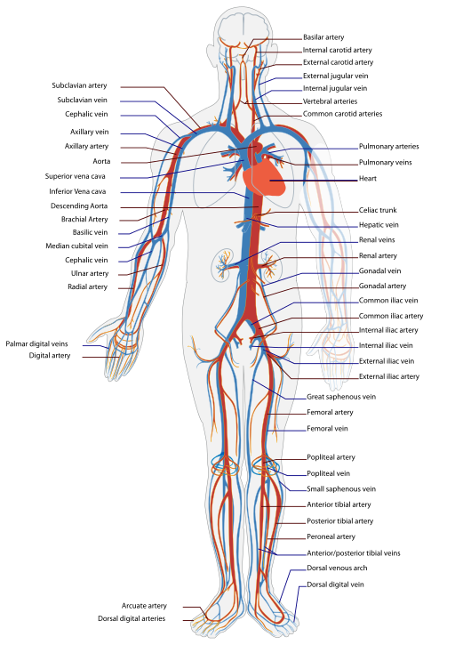 512px-Circulatory_System_en.svg